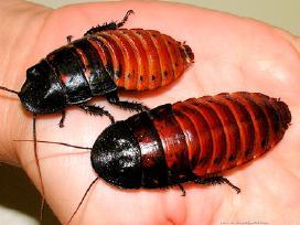 Svirpliai, skėriai, tarakonai, milčiai, zoofobusai