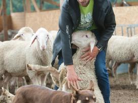 Veislinės avys iš vokietijos