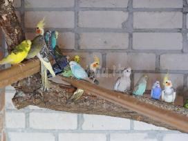 Prekiaujame paukščiais iš veislyno urmu - nuotraukos Nr. 4