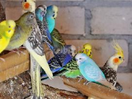 Prekiaujame paukščiais iš veislyno urmu - nuotraukos Nr. 5