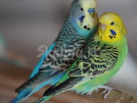 Prekiaujame paukščiais iš veislyno urmu