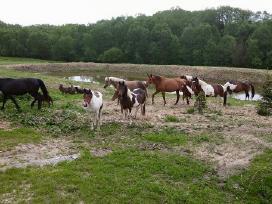 Parduodu pigiai kersus arklius