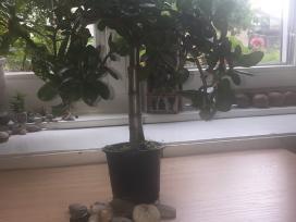 Storalapis - pinigų medis