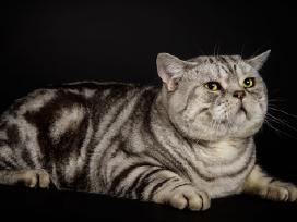 Britų trumpaplaukis kergimui, turim kačiukų su dok - nuotraukos Nr. 2
