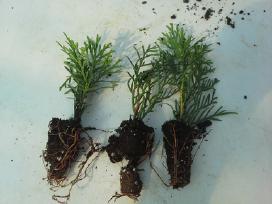 Smaragd tujos, sodinukai 15-20 cm. kaina 0.30 Eur