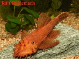 Parduodu akvariumines žuvis