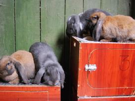 Prancūzų avinai - nuotraukos Nr. 9