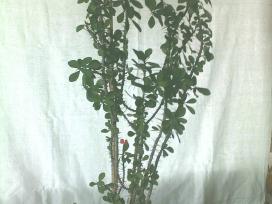 Vaistiniai augalai ir kambarinės gėlės