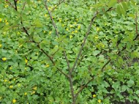 Vaismedžių, vaiskrūmių sodinukai ir gėlės