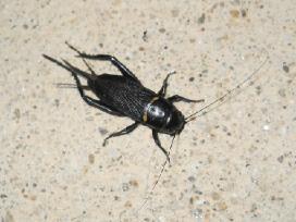 Svirpliai, skėriai, tarakonai, milčiai