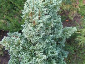 Tujos ir kiti dekoratyviniai augalai