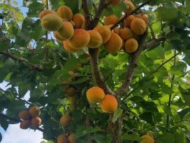 Medžių genėjimas, sodo priežiūros darbai