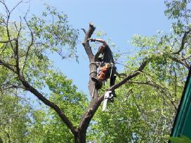 Pavojingų medžių genėjimas ir šalinimas - nuotraukos Nr. 2