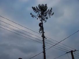 Pavojingų medžių genėjimas ir šalinimas - nuotraukos Nr. 3
