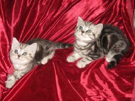 Britų trumpaplaukis kergimui, turim kačiukų su dok - nuotraukos Nr. 10