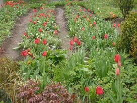 Įvairiausių spalvų tulpių svogūnėliai