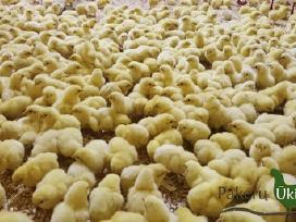 Mėsiniai viščiukai, broileriai 1 - 30 d.