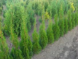 Smaragdinės, koloninės tujos, augalai apželdinimui