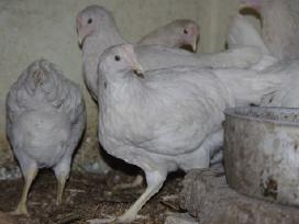 Vištos, viščiukai, kalakučiukai, paukščiukai