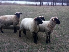 Vokietijos juodgalvės avytės