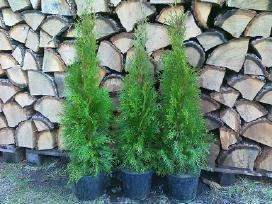 Tujos smaragd 70 cm, 3.5 eur,