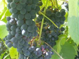 Parduodami Vynuogių sodinukai, lazdynų 2 m sodinuk