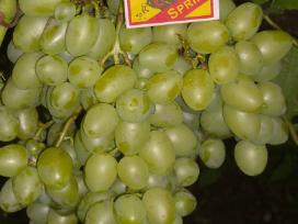 Parduodami Vynuogių sodinukai.