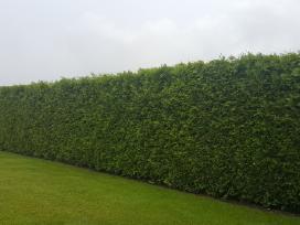 Tujos gyvatvorėms Brabant, Smaragd, Columna