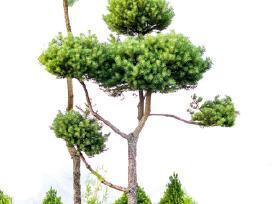 Skiepyti dekoratyviniai augalai