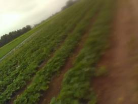 Rauginti lauko ir šiltnamio agurkai kibirėliuose.