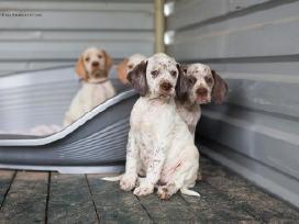 Burbonų brakas (Burbonų pointeris)-turime šuniukų