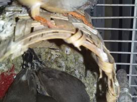 Jauni zebriniai amadinai - nuotraukos Nr. 3