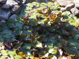 Ivairus dekoratyviniai augalai levandos tujos - nuotraukos Nr. 5