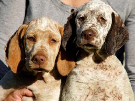 Burbonų brakai- jau turime šuniukų !