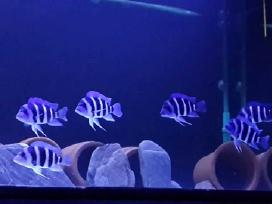 "Cyphotilapia frontosa blue Zaire ""Moba"""