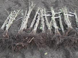 Lazdynų, graikiškų riešutmedžių sodinukai