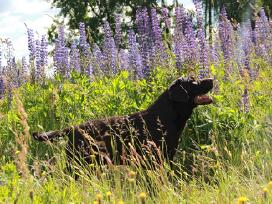 Labradoro retriveris kergimui - nuotraukos Nr. 5