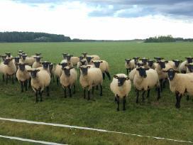 Parduodu jaunas Lt juodgalves avytes ir avinukus