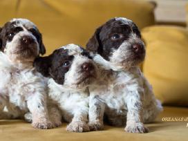 Lagotto Romagnolo (Romanijos Vandens šunys).