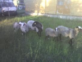 Grynaveislės romanovo avys - nuotraukos Nr. 2