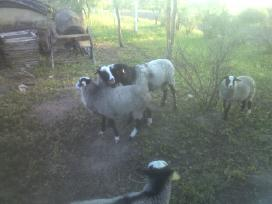 Grynaveislės romanovo avys - nuotraukos Nr. 3