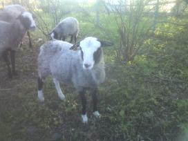 Grynaveislės romanovo avys - nuotraukos Nr. 4