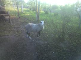 Grynaveislės romanovo avys - nuotraukos Nr. 5