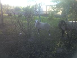 Grynaveislės romanovo avys - nuotraukos Nr. 6