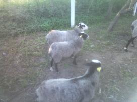 Grynaveislės romanovo avys - nuotraukos Nr. 7