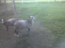 Grynaveislės romanovo avys - nuotraukos Nr. 8
