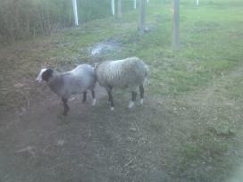 Grynaveislės romanovo avys - nuotraukos Nr. 9