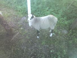 Grynaveislės romanovo avys - nuotraukos Nr. 10