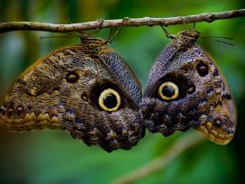 Tropiniai drugeliai - nuotraukos Nr. 2