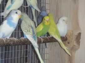 Parduodu jaunas įvairias papugeles
